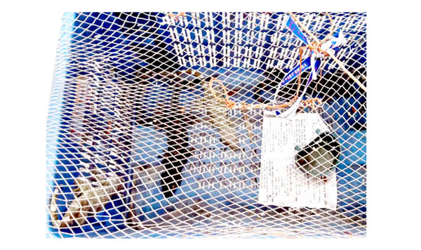 শরণখোলায় উদ্ধার হওয়া ৪টি তক্ষক বনে অবমুক্ত