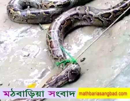 বেতমোরে আট হাত লম্বা অজগর সাপ আটক : সুন্দরবনে অবমুক্ত